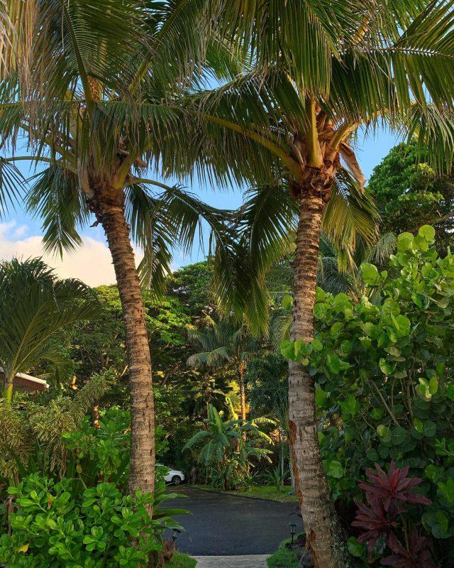No four-leaf clovers but plenty of green to go around for St Patty's Day at KBB 🍀 🍀🍀🍀 Have a great one Ohana! . . #keikibeachbungalows #keikibeach #northshoreoahu #northshore #pupukea #oahu #hawaii #hawaiilife #luckywelivehawaii #luckywelivehi #instahawaii #hawaiiunchained #808 #808life #808state #palmtrees #hawaiiantropic #beachbungalow #endlesssummer #islandlife #islandliving #aloha #livealoha #alohastate #alohavibes #alohastateofmind